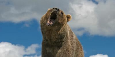 Bear-WEB